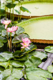 Beautiful, pink water lily from Kew Gardens Stock Images