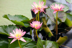Beautiful, pink water lily from Kew Gardens Stock Photos