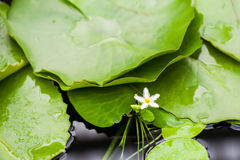 Beautiful, pink water lily from Kew Gardens Stock Photo