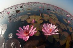 Beautiful Pink Water Lily on lake in Thailand. Stock Images