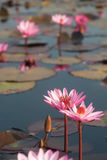 Beautiful Pink Water Lily on lake in Thailand. Royalty Free Stock Image