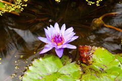 Beautiful pink water lily (lotus) Stock Photography