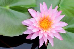 Beautiful pink water lily or lotus flower Stock Photos