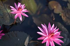 Beautiful pink water lily or lotus flower Perry`s Orange Sunset. Nymphaea is reflected in the water royalty free stock image