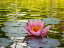 Beautiful pink water lily or lotus flower, petals with water drops or dew. Nymphaea Marliacea Rosea on the beautiful garden pond. With golden-green reflection stock photos