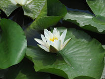 Beautiful pink water lily lotus flower in pond green leaves Royalty Free Stock Photography