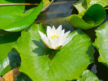 Beautiful pink water lily lotus flower in pond green leaves Royalty Free Stock Photo