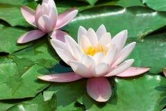 Beautiful pink water lily Stock Photo