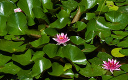 Beautiful pink water lily in the water pond Royalty Free Stock Photography
