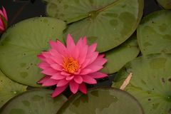 Beautiful Pink Waterlilies on the Pond Royalty Free Stock Photo