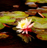A beautiful pink waterlily. In full bloom in the pond with round leaves overlapping each other Royalty Free Stock Photography