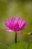 Beautiful pink waterlily. Royalty Free Stock Photos