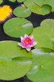 Beautiful pink waterlily. Or lotus flower in park stock photos