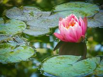 Beautiful pink waterlily or lotus flower Perry. Orange sunset on emerald green background. Nymphaea reflected beautiful bokeh. The frog is visible from the stock photos