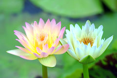A beautiful pink waterlily or lotus flower Stock Photography