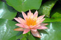A beautiful pink waterlily or lotus flower Stock Image