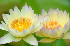A beautiful pink waterlily or lotus flower Stock Images
