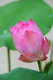 A beautiful pink waterlily or lotus flower Royalty Free Stock Photo