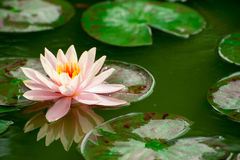 Beautiful pink waterlily or lotus flower in pond Stock Photography