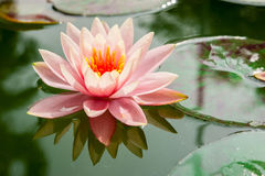 Beautiful pink waterlily or lotus flower in pond Royalty Free Stock Images