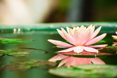 Beautiful pink waterlily or lotus flower in pond royalty free stock photography