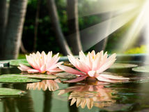 A beautiful pink waterlily or lotus flower in pond Stock Photography