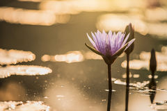 A beautiful pink waterlily or lotus flower in pond Stock Image