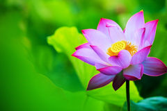 Beautiful pink waterlily or lotus flower in pond stock images