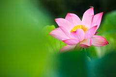 Beautiful pink waterlily or lotus flower in pond Royalty Free Stock Photos