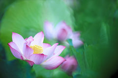 Beautiful pink waterlily or lotus flower in pond Royalty Free Stock Image
