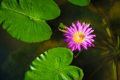 Beautiful pink waterlily or lotus flower in pond with green leaf.  Stock Photos