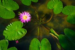 Beautiful pink waterlily or lotus flower in pond with green leaf.  Stock Photography