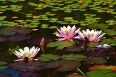 Beautiful pink waterlily - lotus flower in pond. Nymphaea,Waterlily.  royalty free stock photography