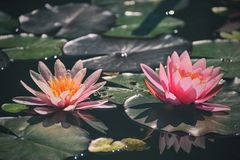 Beautiful pink waterlily - lotus flower in pond. Nymphaea,Waterlily.  royalty free stock photos