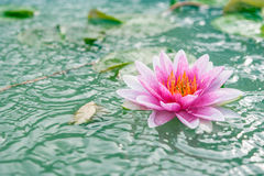 A beautiful pink waterlily or lotus flower in pond Royalty Free Stock Photo
