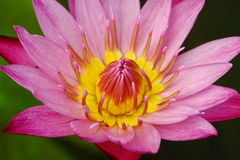 Free Beautiful Pink Waterlily Or Lotus Flower In Pond Royalty Free Stock Images - 50571859