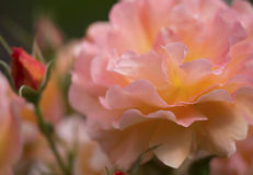 Beautiful pink westerland rose Stock Photography