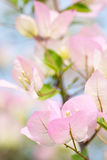 Beautiful pink white  bougainvillea flowers with blur foreground Royalty Free Stock Image
