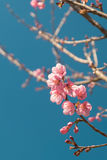 Beautiful Pink white Cherry blossom flowers tree branch in garden with blue sky, Sakura. natural winter spring background. Royalty Free Stock Image