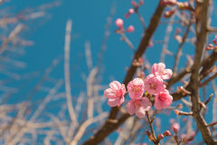 Beautiful Pink white Cherry blossom flowers tree branch in garden with blue sky, Sakura. natural winter spring background. Stock Photos