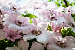 Beautiful, pink and white clematis flowers Stock Photos