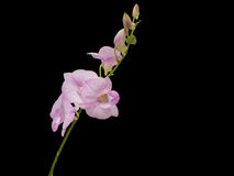 Beautiful pink-white color orchids on black background Stock Photos