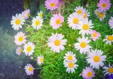 Beautiful pink and white daisy or chamomile flowers blooming in a sunny day with soft pastel color filter and vintage style. Selective focus royalty free stock photo