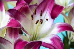 Beautiful pink-white lily close-up of a stamen. Beautiful pink-white lily close-up of a stamen Stock Photo