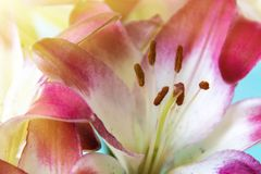 Beautiful pink-white lily close-up of a stamen. Beautiful pink-white lily close-up of a stamen Royalty Free Stock Photo