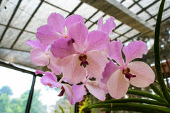 Beautiful pink and white orchid Stock Photography