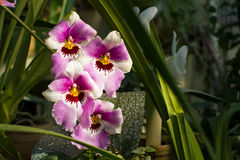 Beautiful pink and white orchid with yellow center. Stock Photo