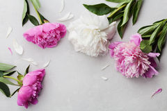 Beautiful pink and white peony flowers on gray stone background with copy space for your text or design, top view Royalty Free Stock Photos
