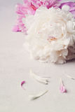 Beautiful pink and white peony flowers on stone table Stock Images
