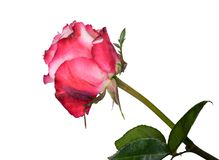 Beautiful pink and white rose close up stock photography